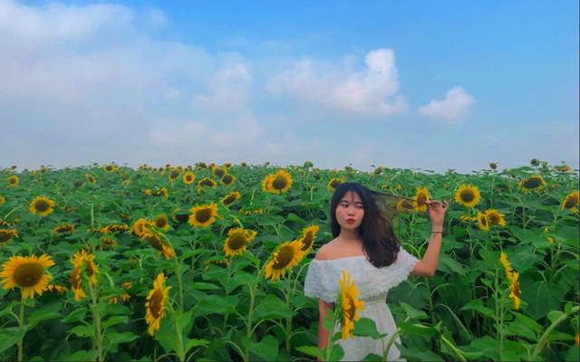 Cánh đồng hoa hướng dương – Bình Chánh
